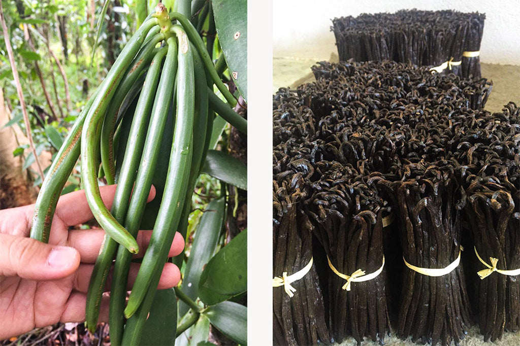 Left: Madagascan vanilla beans growing on plant. Right: the vanilla pods after being dried and sorted.
