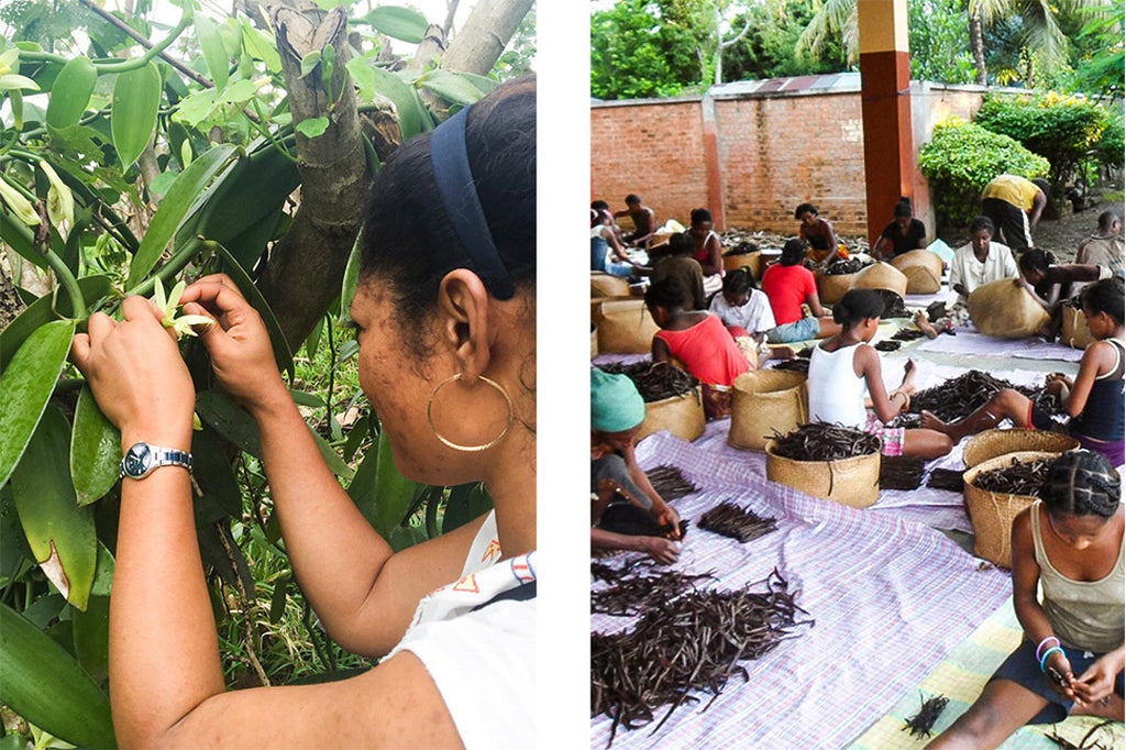 Left: vanilla orchid being pollinated by hand. Right: women in Madagascar sorting the dried vanilla pods.