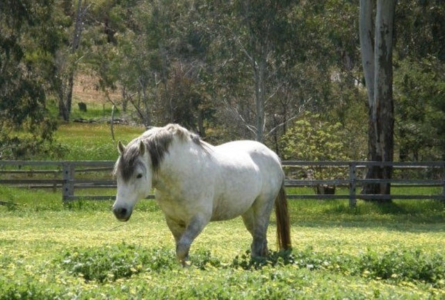 overweight-horse-in-pasture