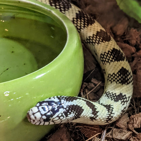 Aztec California King Snake