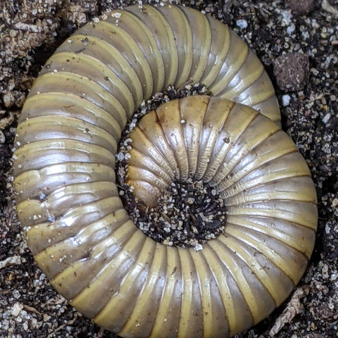 Smokey Oak Millipede