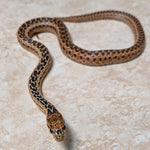 San Diego Het Stripe Applegate Gopher Snake - Female