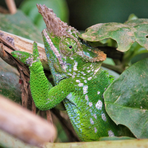 Bohme's Two Horned Chameleon