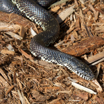 Brooks' Kingsnake