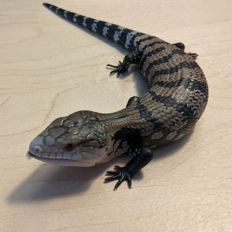 Halmahara Blue Tongue Skink