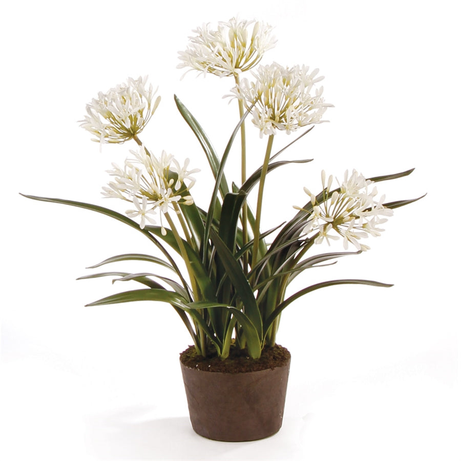 Agapanthus Drop-In, 29""