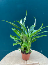 Load image into Gallery viewer, Spathiphyllum Chopin (Peace Lilly) Small