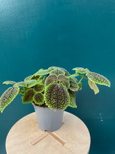 Load image into Gallery viewer, Pilea Moonvalley