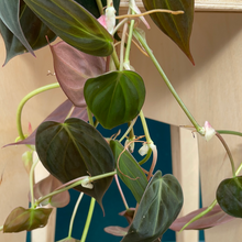 Load image into Gallery viewer, Philodendron scan  'Micans' hanging