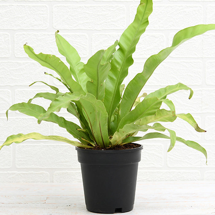 Bird Nest Fern W/Fern Bark Hanging