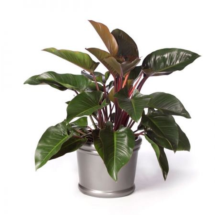 Philodendron Shelly Red