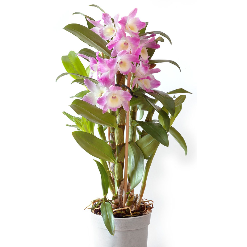 Bamboo Orchid