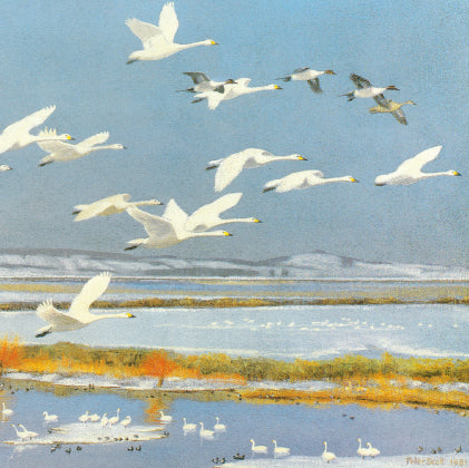 Wild bewick's swans and pintails greetings card