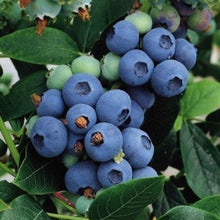 Load image into Gallery viewer, Blueberry Plants, 2 year old potted