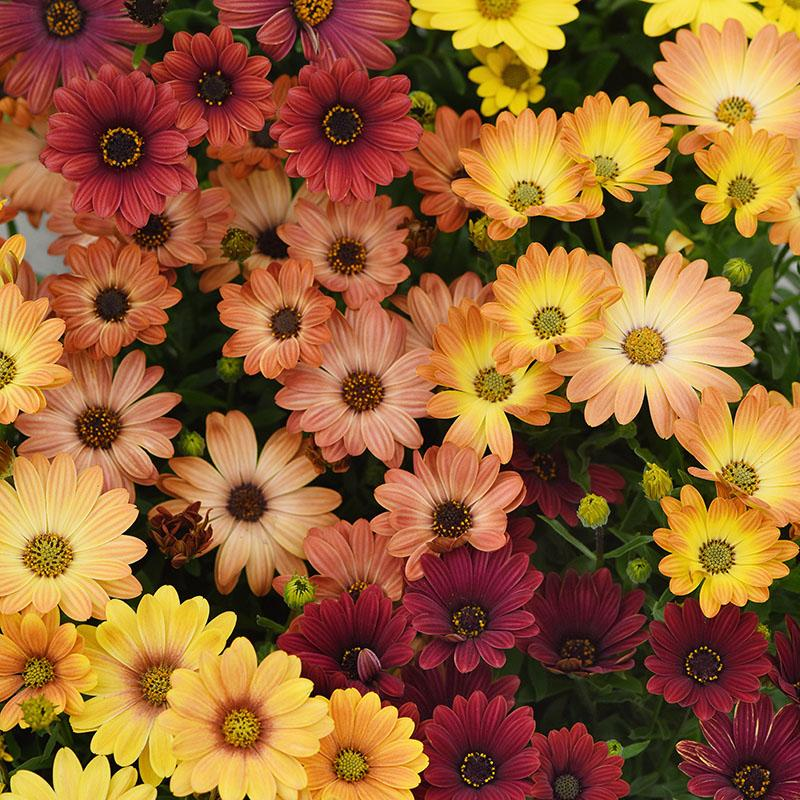 Flower: Osteospermum-Akila Sunset Shades