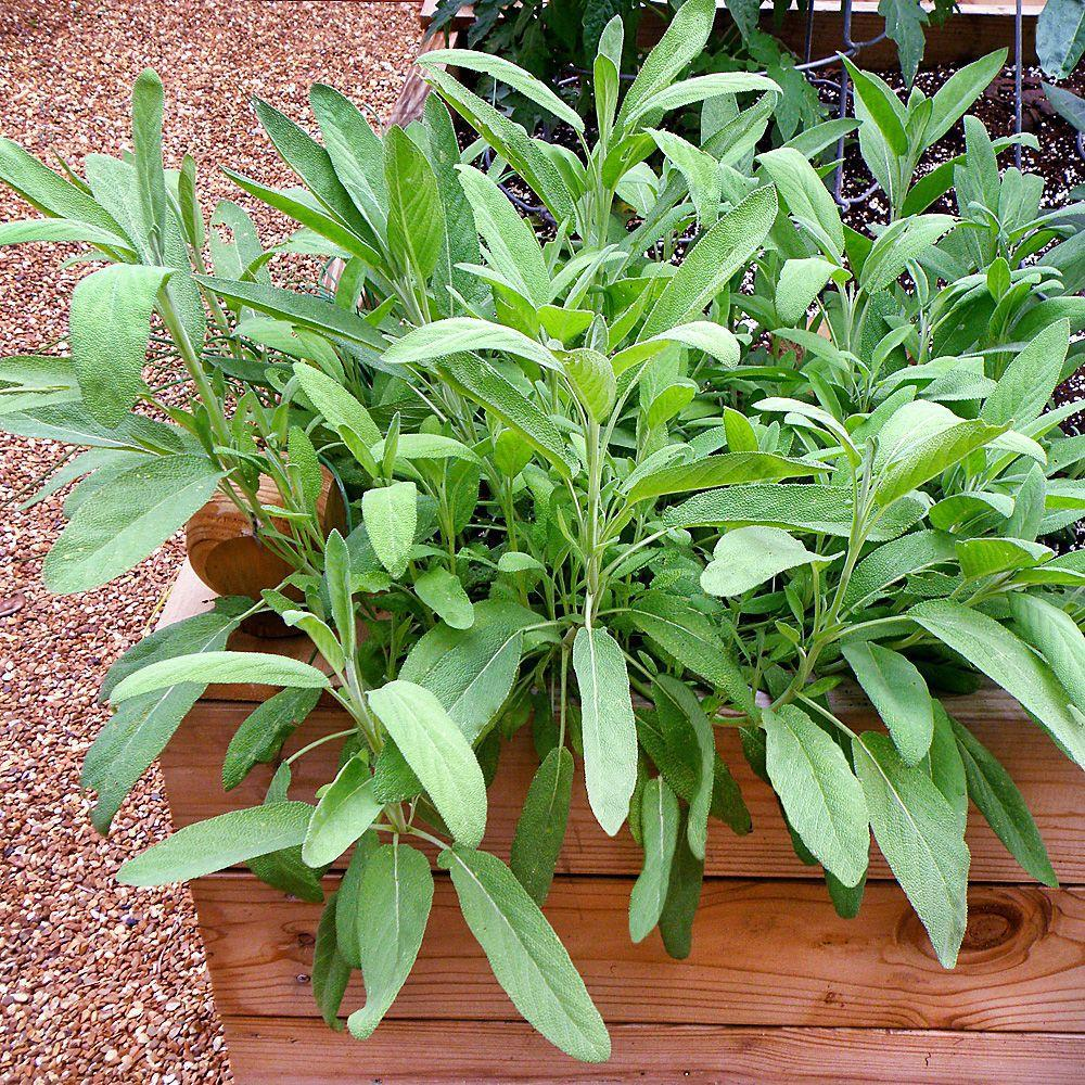 Herb: Sage-Garden Salvia officinal