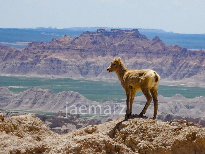 Big Horn Sheep Badlands SD