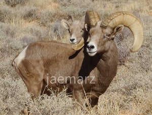 Big Horn Sheep Nevada