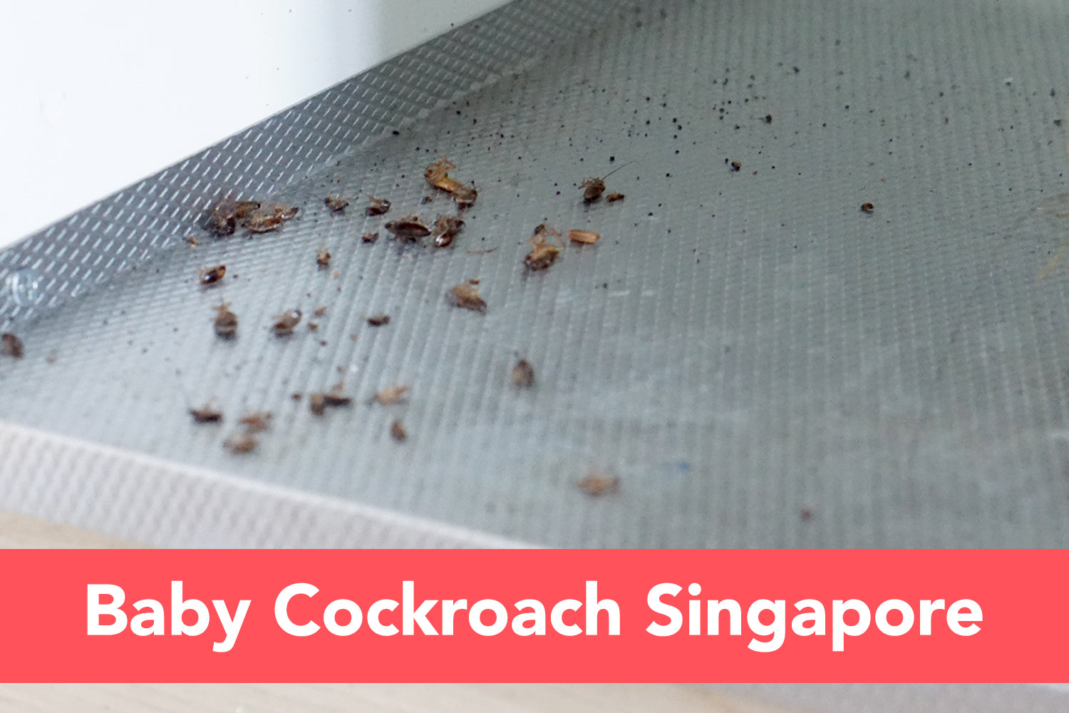 Baby Cockroach Singapore