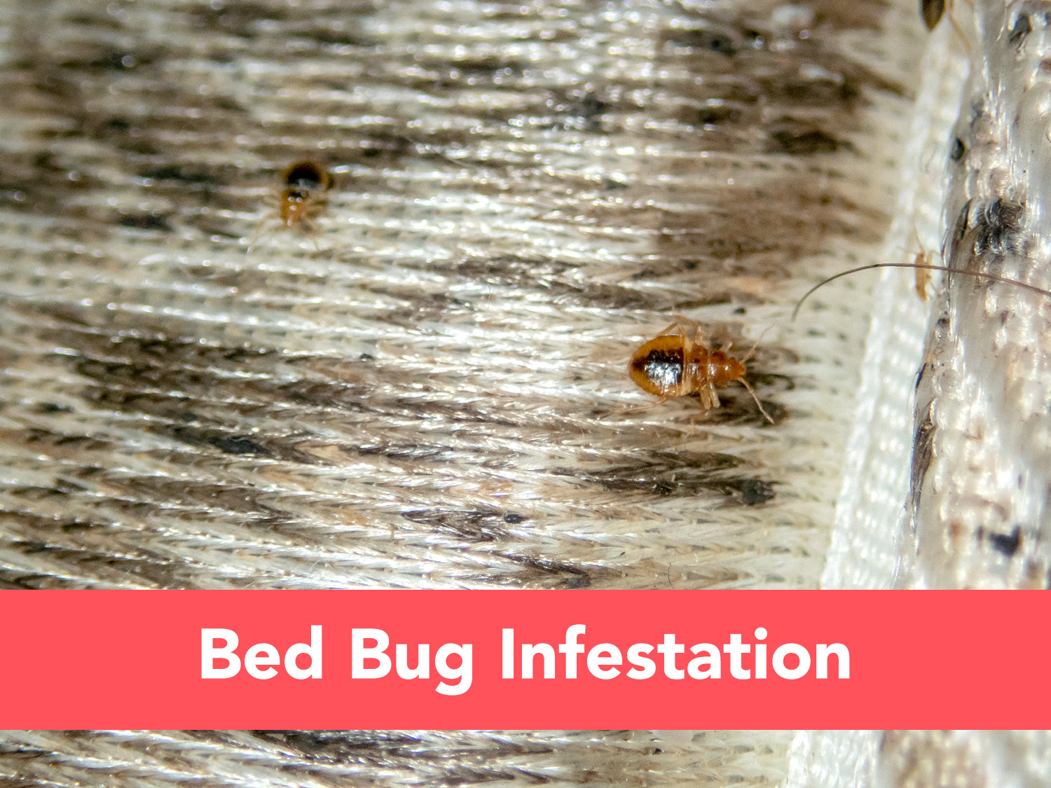 How to Check for a Bed Bug Infestation