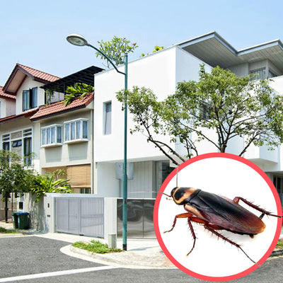 Cockroaches Singapore Terrace 3 Storeys