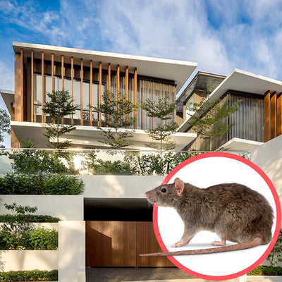 Rodents Singapore Bungalow 2 Storeys