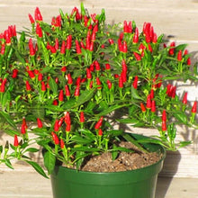 Load image into Gallery viewer, 100pcs Thai Sun Hot Pepper Capsicum Annuum Ornamental Chili Seeds Bonsai Plant