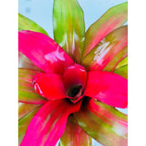 Bromeliad Neoregelia Plant Donna in 6 In. Grower's Pot