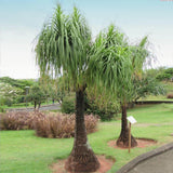 1.9 Gal. Elephant's Foot Ponytail Palm Plant in 9.25 in. Grower Pot