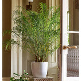 "Areca Golden Cane Palm Plant in 9.25"" Growers Pot"