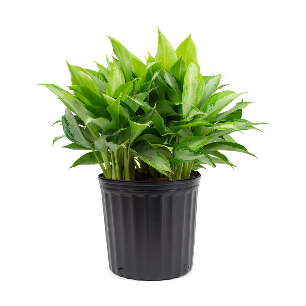 "Aglaonema Golden Bay Chinese Evergreen Plant in 9.25"" Grower Pot"