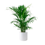 "Cataractarum Cat Palm Plant in 9.25"" Designer Pot"