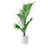 1.9 Gal. Majesty Palm Plant in 9.25 in. Designer Pot