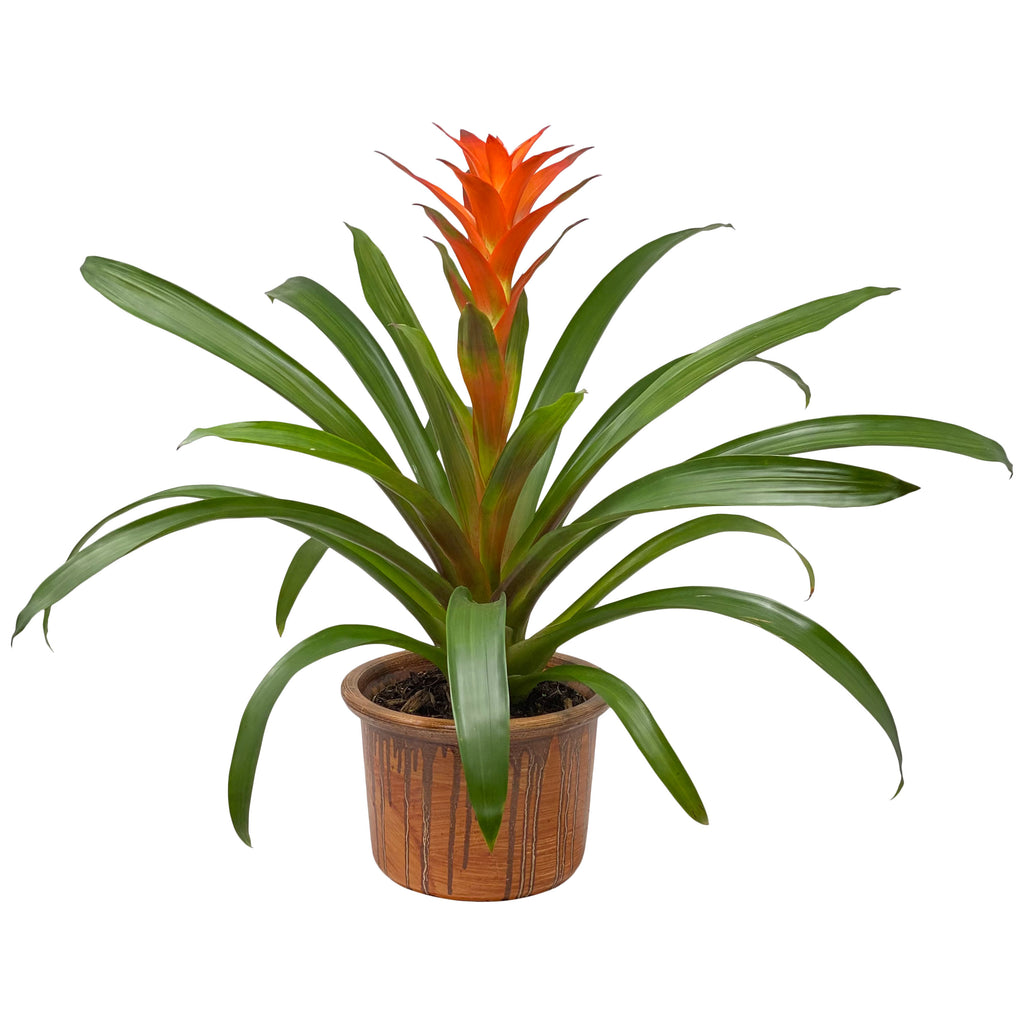 Bromeliad Plant in Designer Ceramic Pot