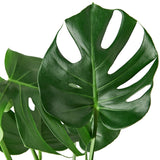 "Monstera Philodendron Plant in 9.25"" Growers Pot"