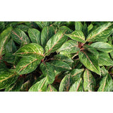 "Aglaonema Sparkling Sarah Chinese Evergreen Plant in 9.25"" Grower Pot"