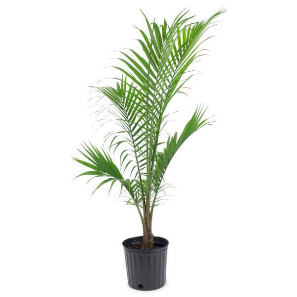 "Majesty Palm Plant in 9.25"" Grower's Pot"