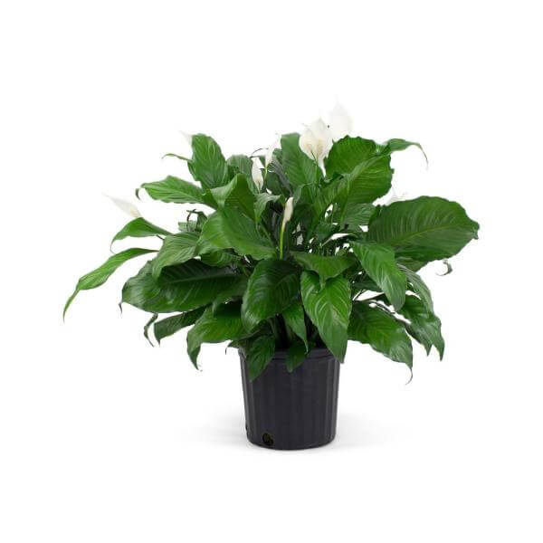 1.9 Gal. 9.25 in. Peace Lily Spathiphylum Plant White Flower in Grower Pot
