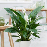 Peace Lily Spathiphylum Plant White Flower in Designer Pot