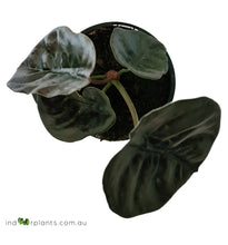 Load image into Gallery viewer, Alocasia Cuprea