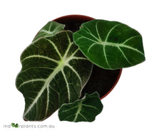 Load image into Gallery viewer, Alocasia Black Velvet