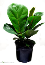Load image into Gallery viewer, Ficus Lyrata