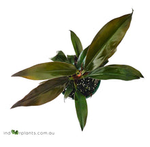 Load image into Gallery viewer, Philodendron Black