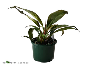 Philodendron Black