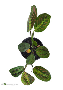 Maranta Red Vien