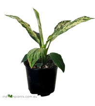 Load image into Gallery viewer, Spathiphyllum Sensation Variegated