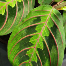 Load image into Gallery viewer, Maranta Red Vien