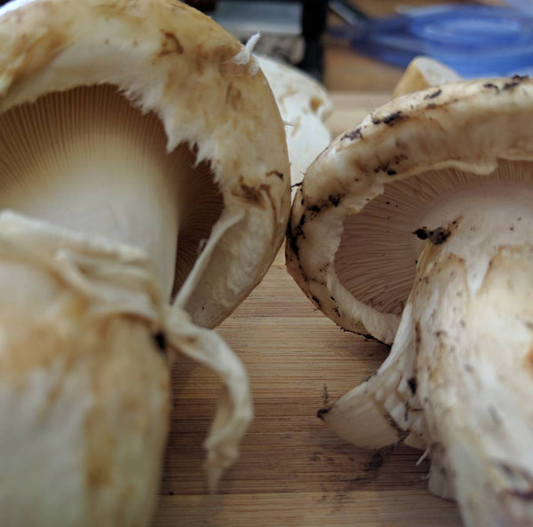 Matsutake vs Catathelasma