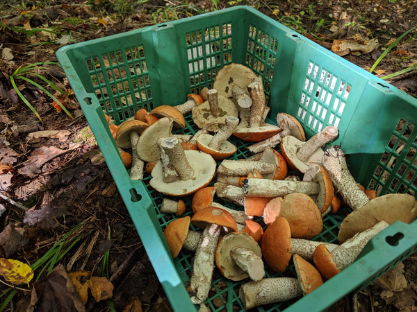 Basket of birch bolete