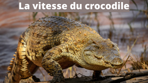 A quelle vitesse court un crocodile ?